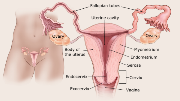 Endometrial cancer causes risk factors. Endometrial cancer causes