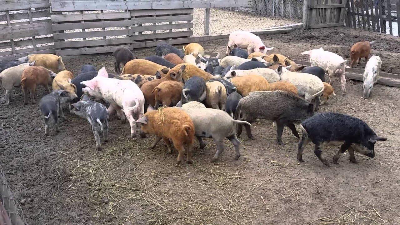 limbrici la porci