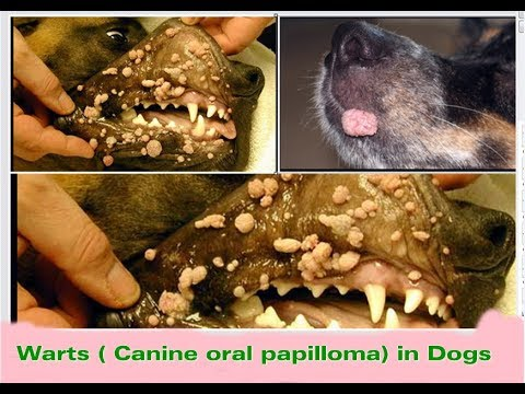 Warts mouth labrador - thecroppers.ro