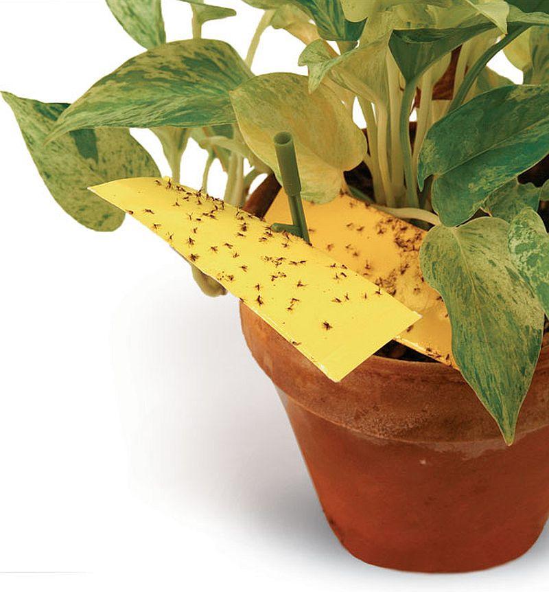 paraziti flori de apartament