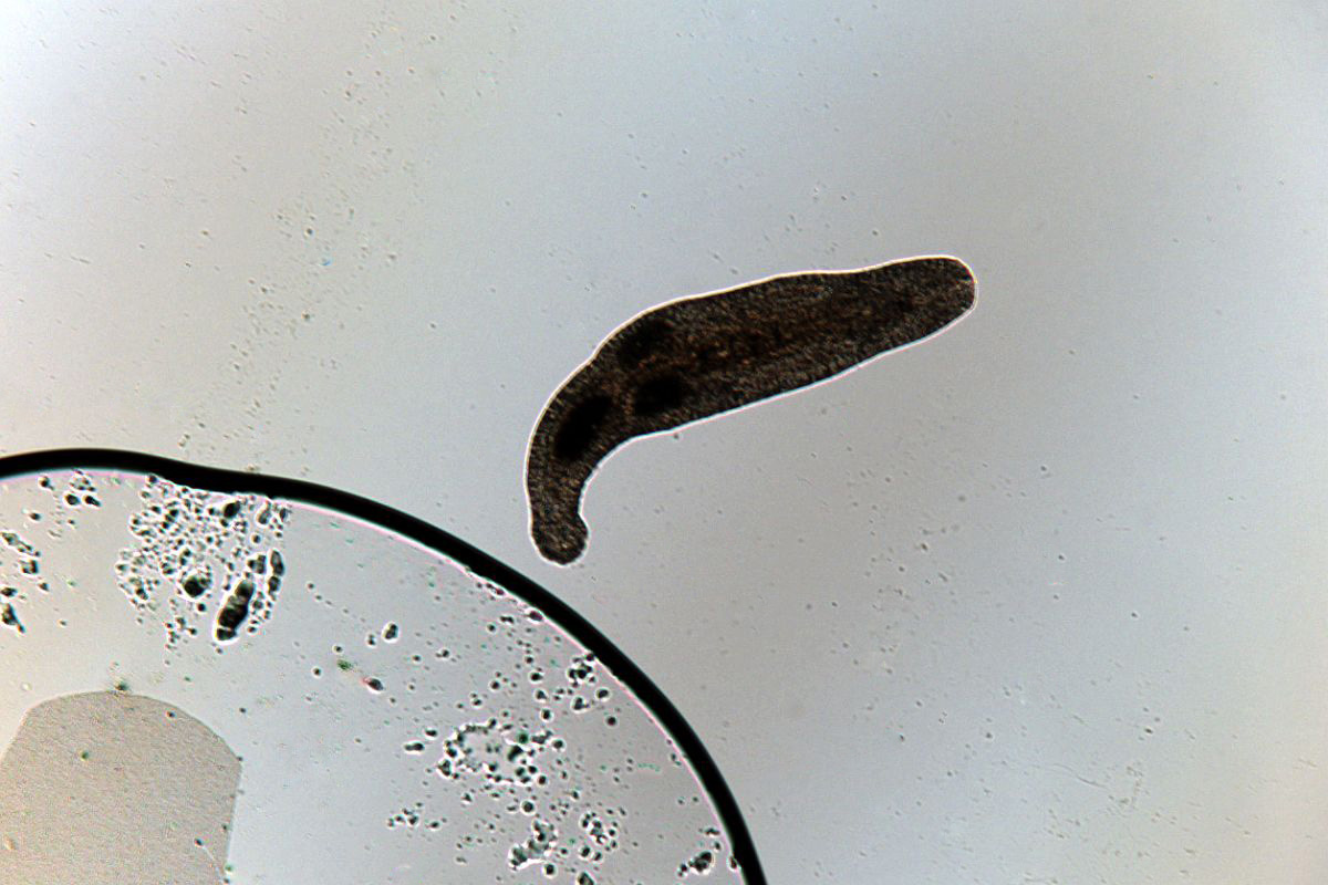 Platyhelminthes 3 clase. Viermii plaţi (Platyhelminthes) | Itinerarii pontice