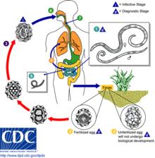 Helminth disease epidemiology - Înțelesul