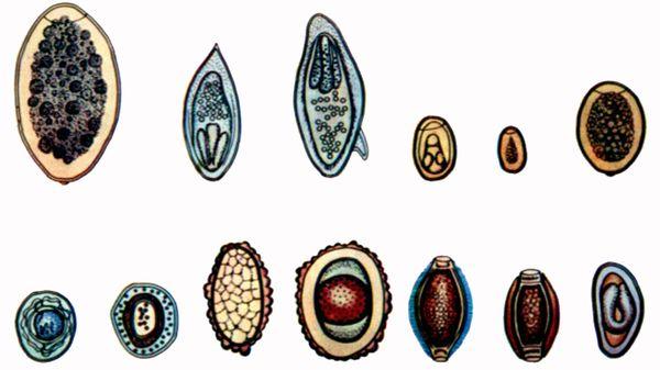 dr oz arată paraziți papilloma virus si trasmette solo sessualmente