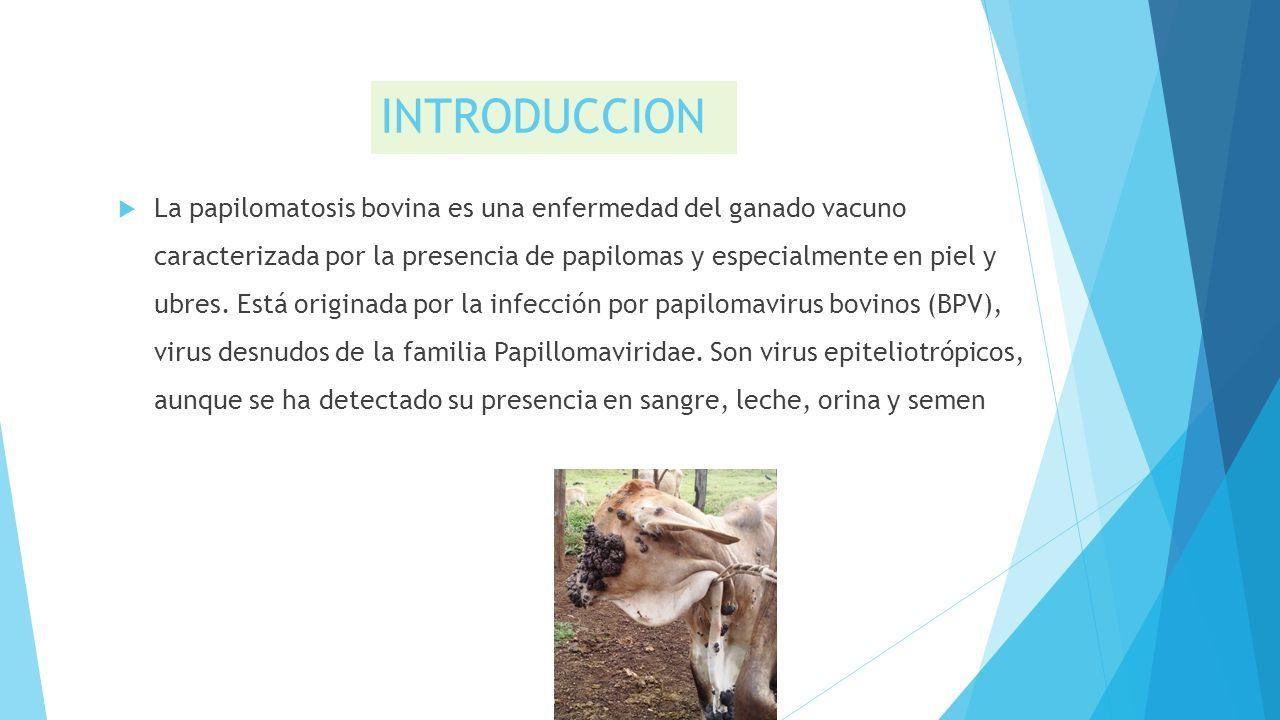 Papilomatosis tratamiento en bovinos