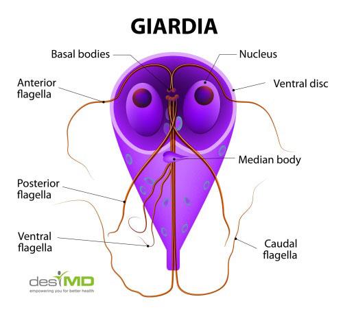 morfologia giardiozei