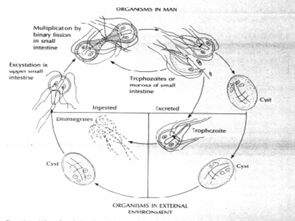 Giardia u ludzi leczenie, Dieta lamblia