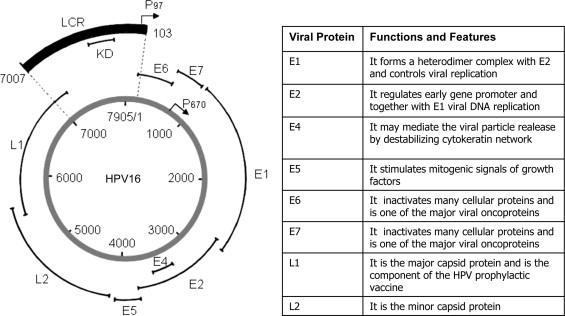 Wart virus family. Virusul Papiloma Uman − implicaţii neonatale - Wart virus family