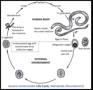 Ciclul de viață al nematodei