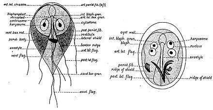 Giardia lamblia (Giardioza)- simptome și tratament