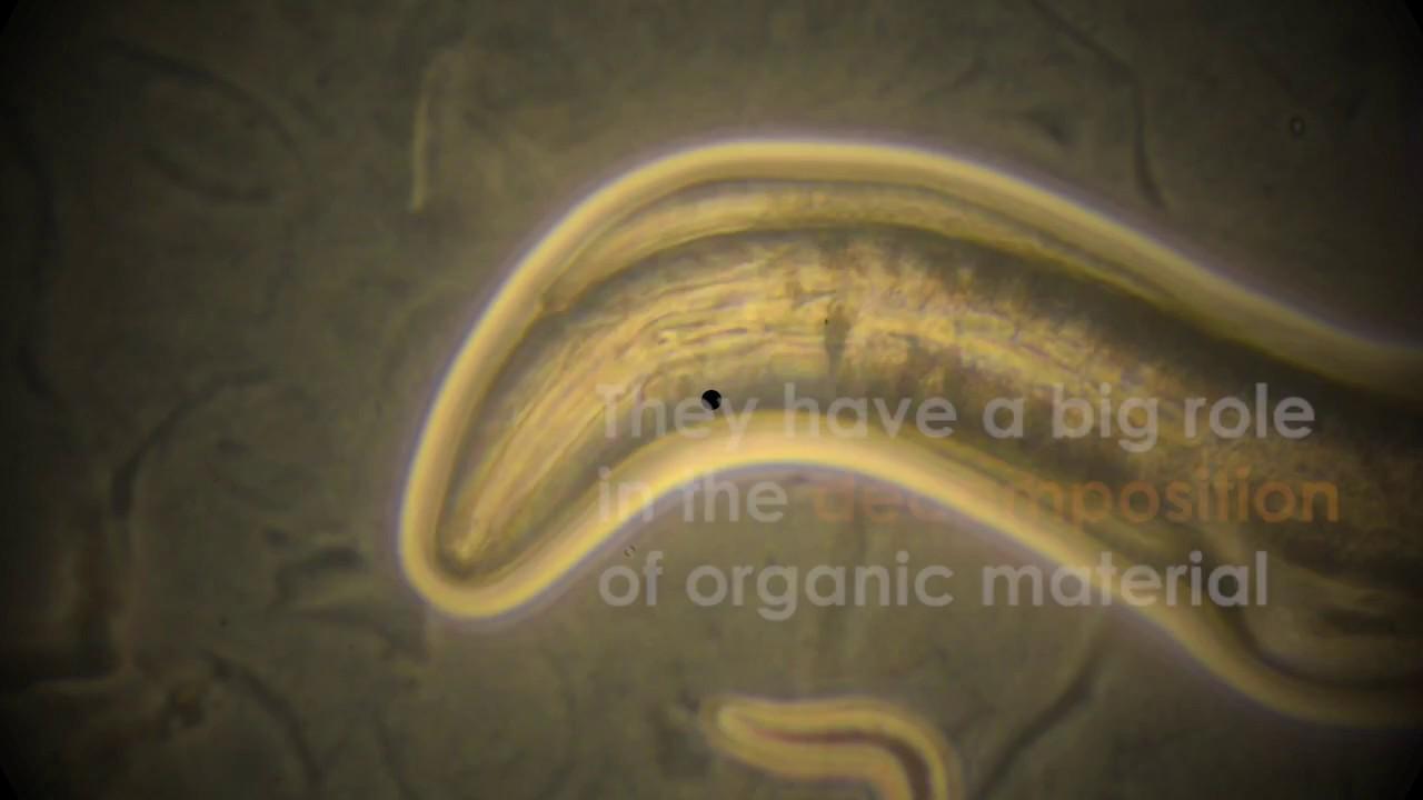 ouă de helmint și chisturi protozoare