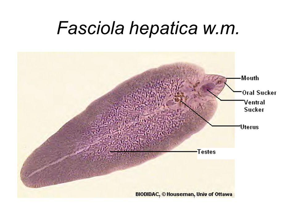 Fasciola Hepatica - Platyhelminthes clasa trematoda