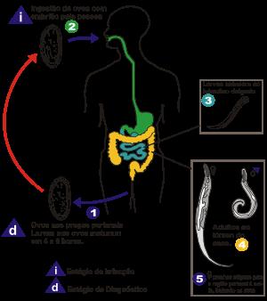 oxiurose tratamento sintomas sintomas de oxiuros