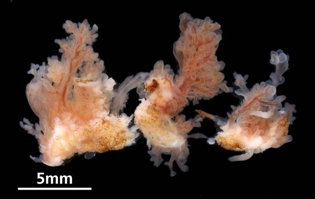 papillomas fronds