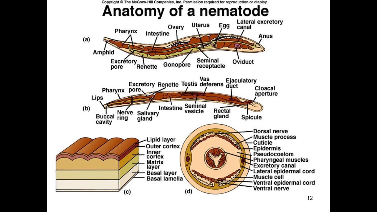un exemplu este nemathelminthes