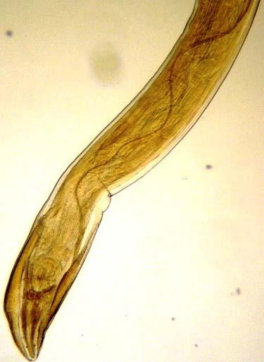 Paraziti gongylonema pulchrum,