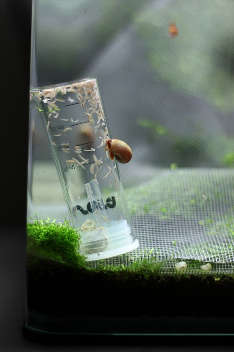 Capcană de vierme. Cum se previne și cum se combate bio viermele (musca) cireșelor