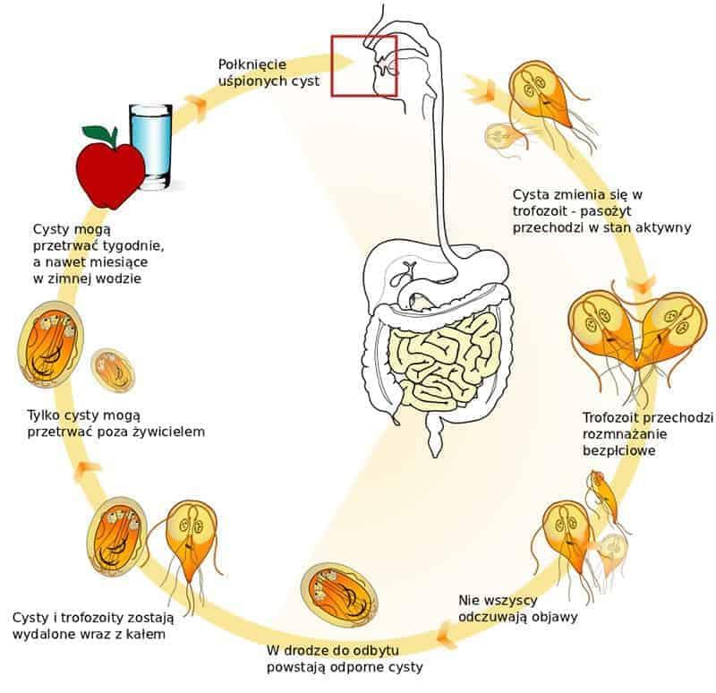 Artrita ureaplasmosis - Giardia u kota objawy - Pasozyt giardia u kota