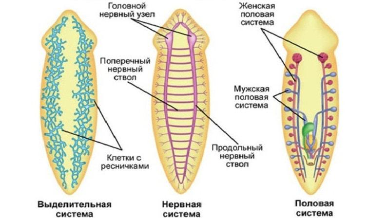 Vierme - Wikipedia, Planul corpului platyhelminthes