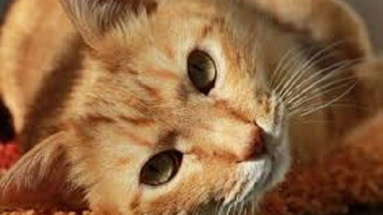 Viermi intestinali la pisici