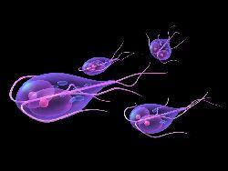 Giardia - paraziti intestinali