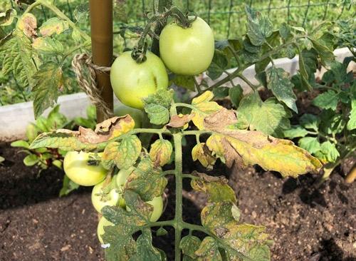 Ofilirea (cancer) bacteriana a tomatelor - Seminte - Ingrasaminte - Turba