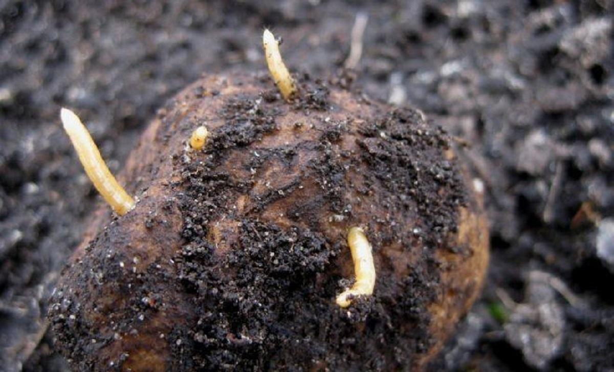 Viermi de pamant. Noi specii de viermi găsiţi la adâncime sub scoarţa Pământului