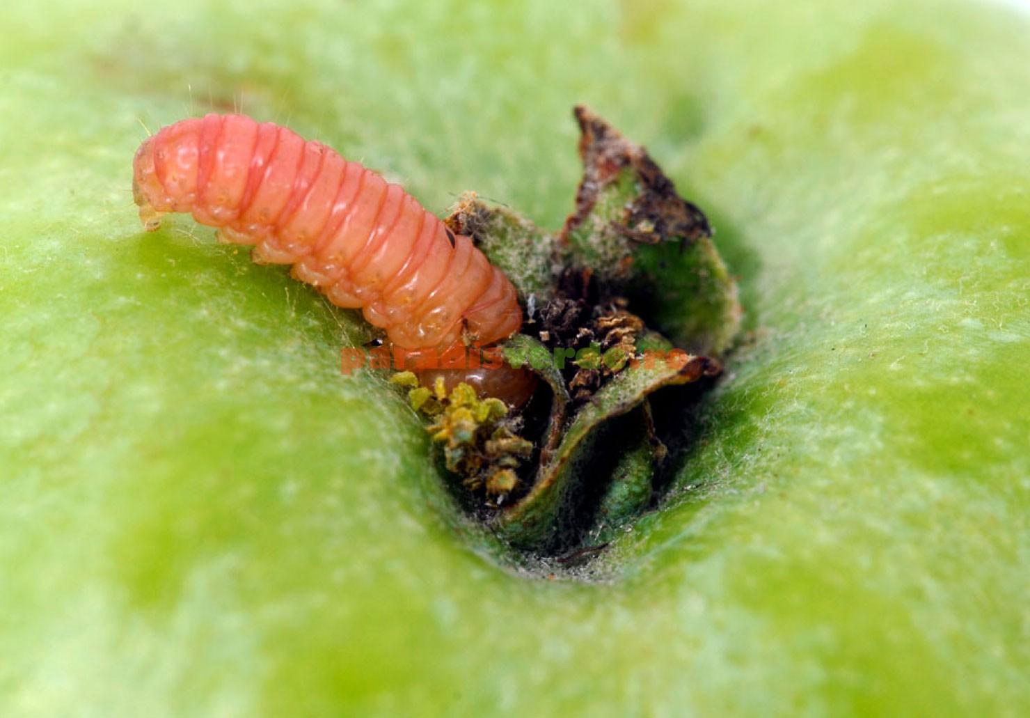ce putem da pentru a preveni viermii condylomata acuminata kod muskaraca