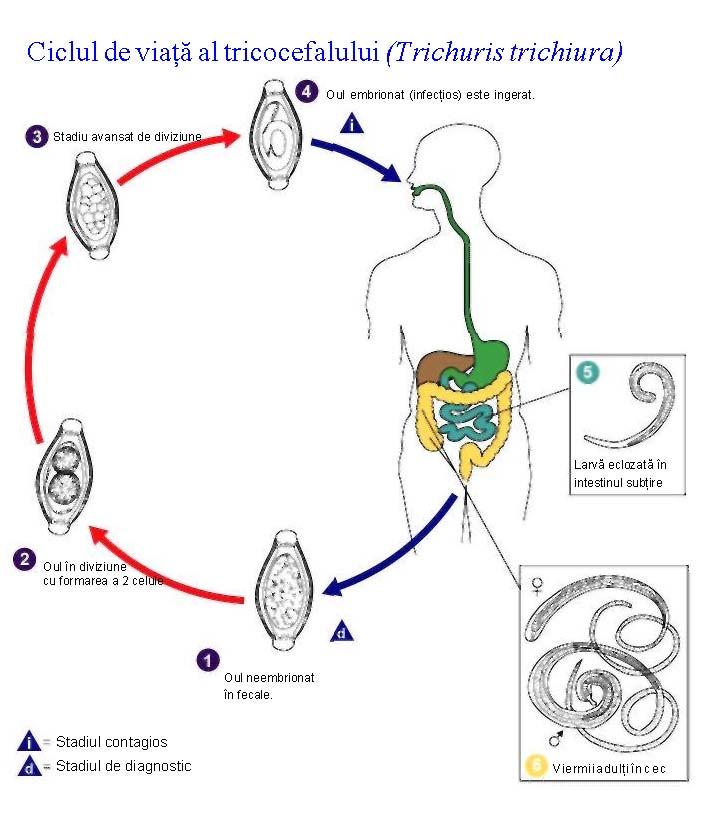ciclul de dezvoltare al giardiozei simptomele de detoxifiere a curățării colonului