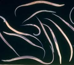 poze limbrici la copii pastile de vierme pentru tratament