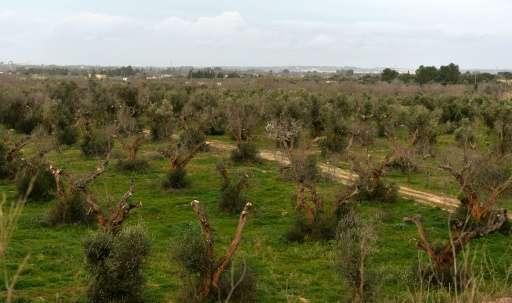 Epidemia de Xylella fastidiosa care afectează măslinii