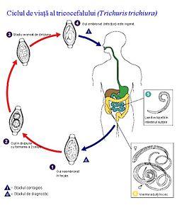 Tratarea căii infecției cu helmint - Gliste u stolici kod dece