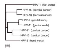 hpv virus family