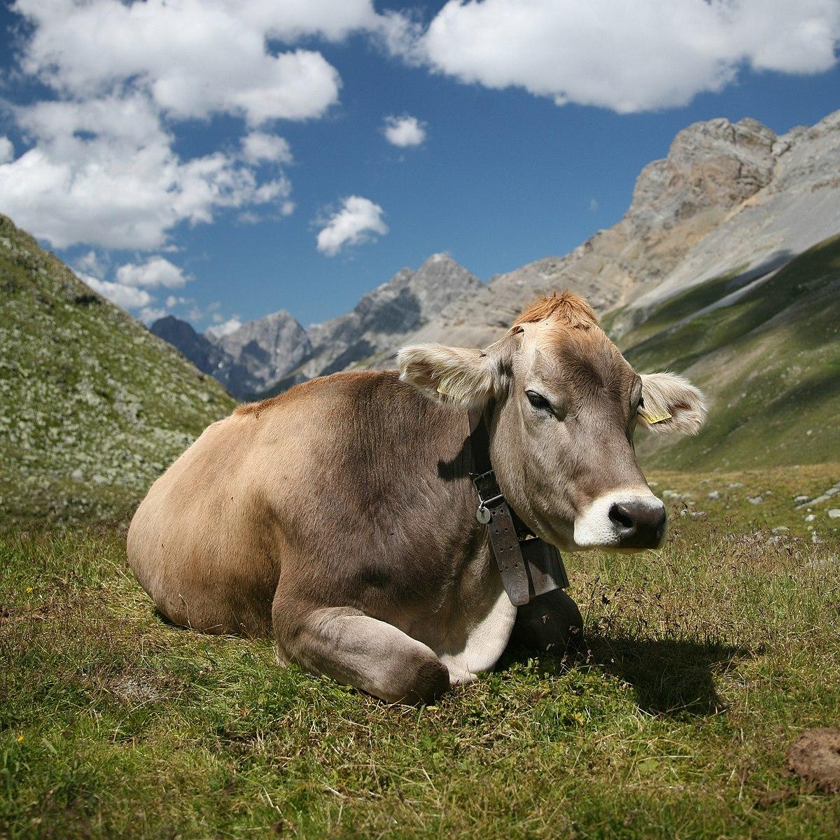infecții cu helmint la bovine