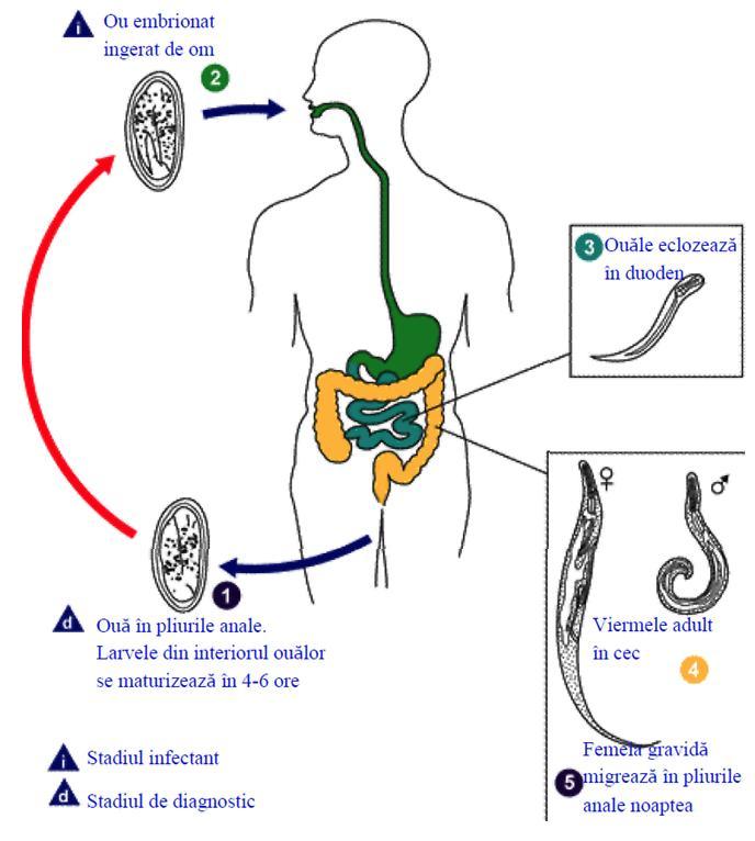 medicamente pentru viermi pentru gravide dr oz arată paraziți