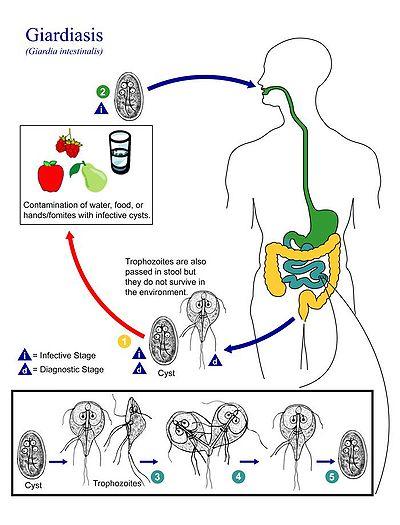 morfologia giardiei duodenalis