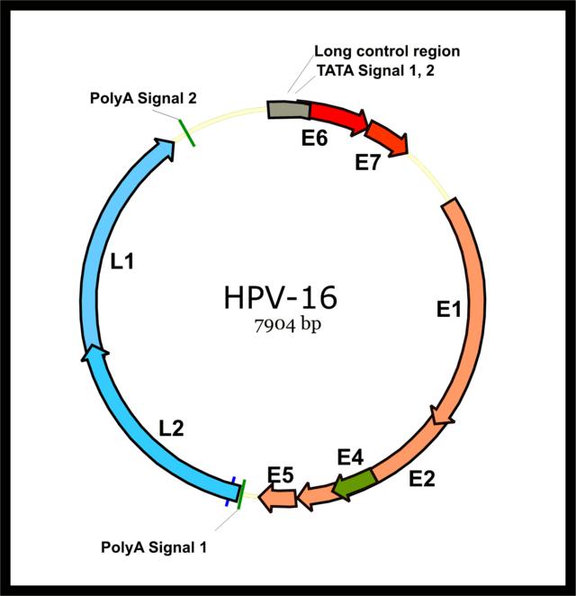papillomavirus infection types