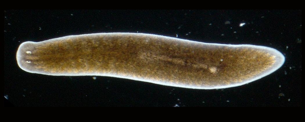 Habitat de viermi plate. Reproducerea și dezvoltarea - Platyhelminthes 2 foaie de lucru cestoda