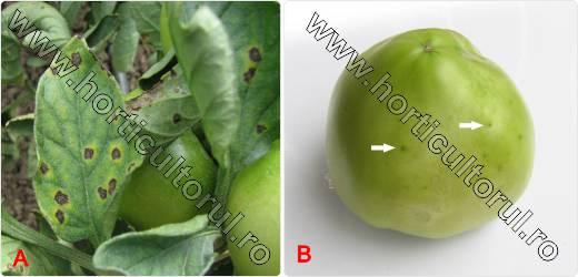 Cancerul bacterian al tomatelor. Cancerul bacterian