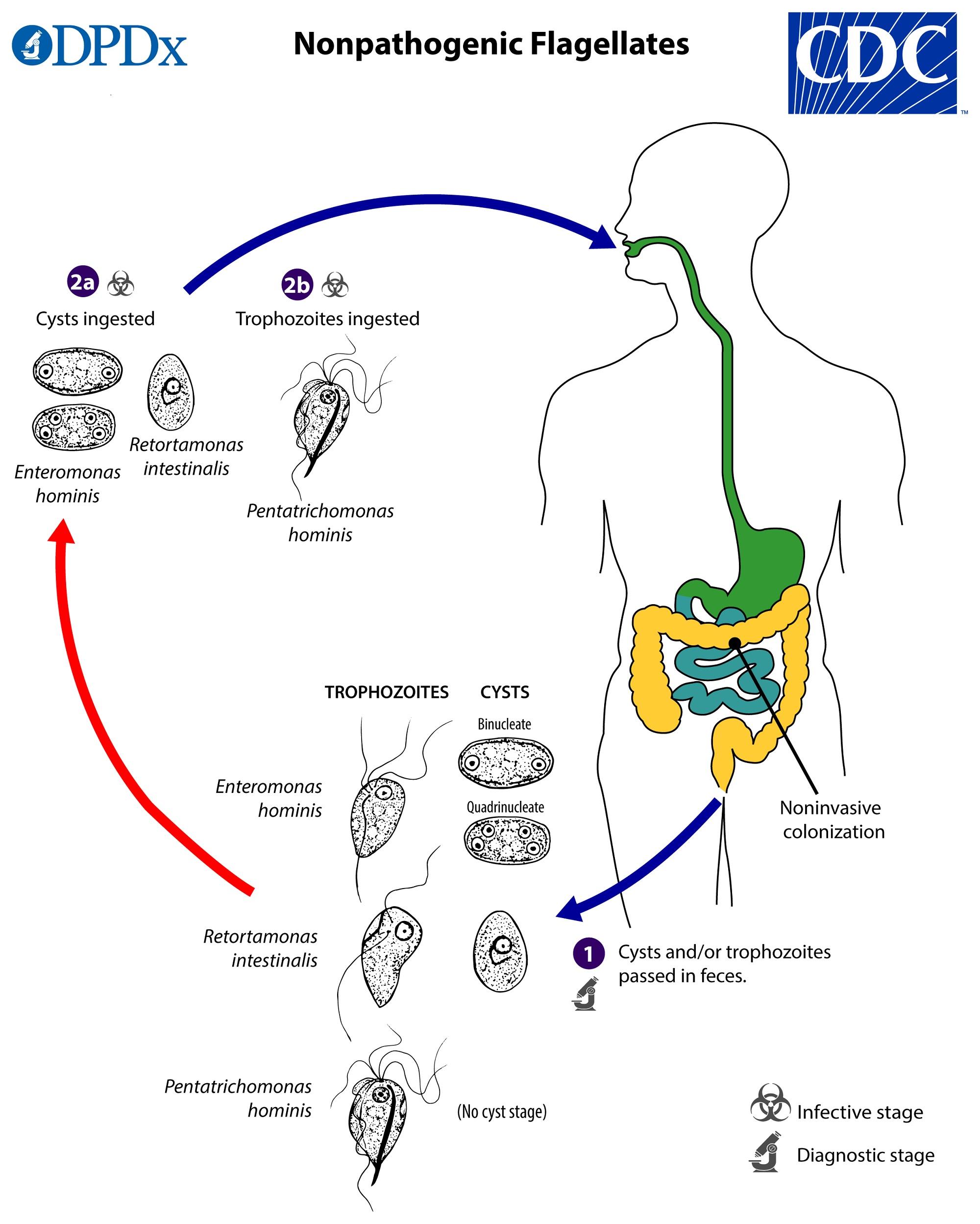 Simptome si tratament naturist pentru giardia la copii - - thecroppers.ro Cât durează giardia în sol