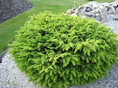 Conifere de tenă, Conifere - Plantare si intretinere