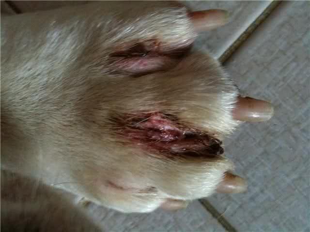dermatite zampa cane pot negii să dispară