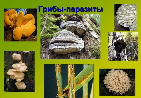 Infectiile fungice Saprofite fungice sau paraziți