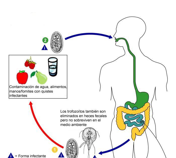 ciclul de viață al giardiasis lamblia