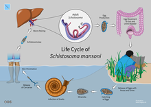 Schistosomiasis worm type - thecroppers.ro