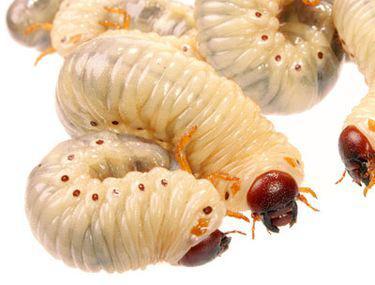 semne de infecție cu vierme la om vierme panglica